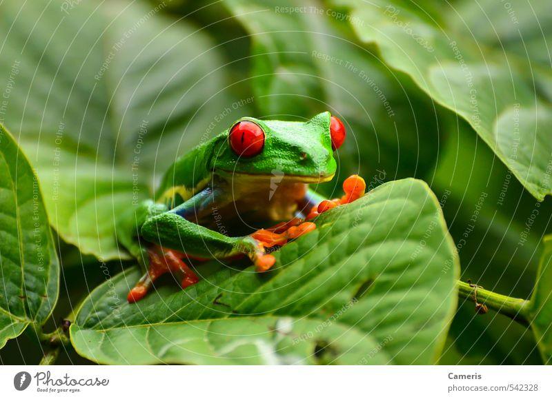 Rotäugiger Baumfrosch Tier Wildtier Frosch Tiergesicht 1 beobachten Jagd sitzen warten authentisch exotisch Flüssigkeit Freundlichkeit Fröhlichkeit frisch
