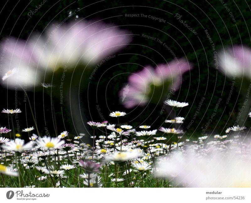 Gänseblümchen Blume Sommer Gänseblümchen Blumenwiese Südfrankreich