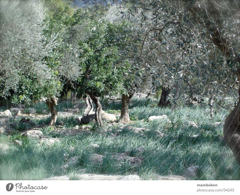 Olivenhain Wäldchen Mallorca Italien mediterran Balearen Toskana Wald Schaf Lamm Natur