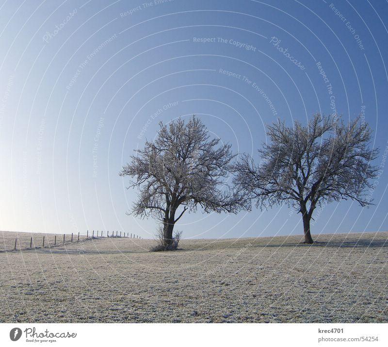 Zwei Einzelne Baum Wiese Winter einzeln Zaun Weidezaun Himmel Blauer Himmel Raureif Einsamkeit alleinstehend