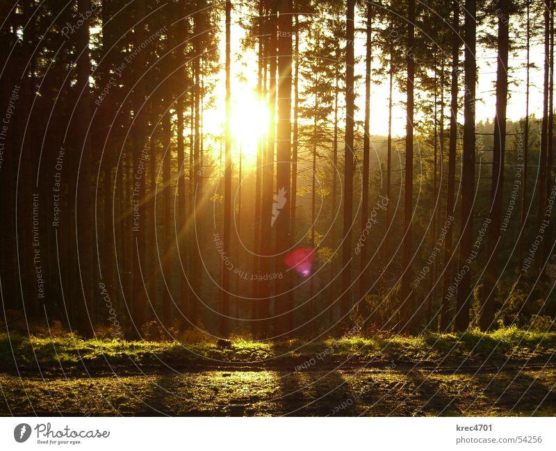 Wald im Gegenlicht I Baum Sonne grün Winter Rheinland-Pfalz Eifel Nadelwald