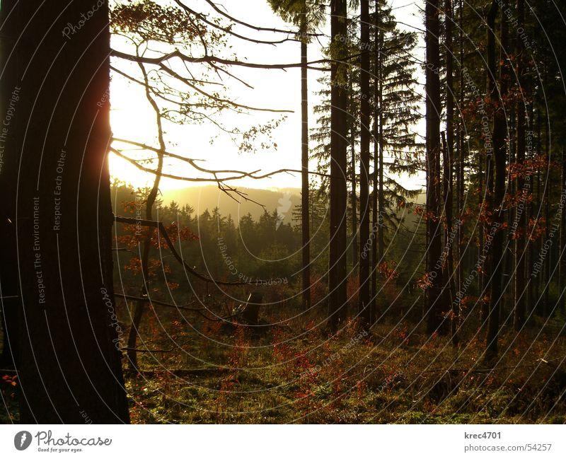 Wald im Gegenlicht II Baum Sonne grün Winter Eifel Nadelwald