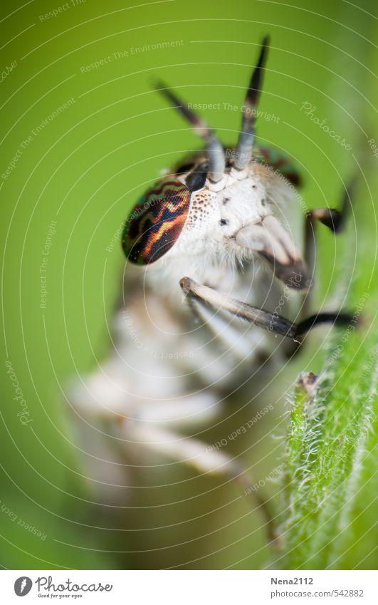 Guck mir in die Augen... Umwelt Natur Tier Frühling Sommer Schönes Wetter Pflanze Blatt Garten Park Wiese Feld Wald Fliege 1 Ekel gruselig grün weiß Behaarung