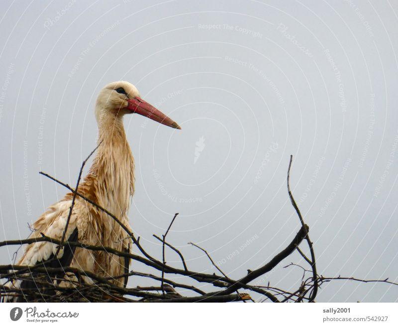 Bin ich nicht schön? Wolken schlechtes Wetter Tier Wildtier Vogel Storch 1 bauen beobachten Blick sitzen warten nass Natur Nest Nestbau Horst Zweige u. Äste