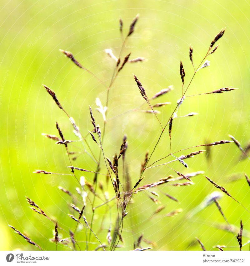 lichter Moment Natur grün Pflanze Wiese Gras Glück hell braun Feld gold leuchten einfach zart Getreide reif sommerlich