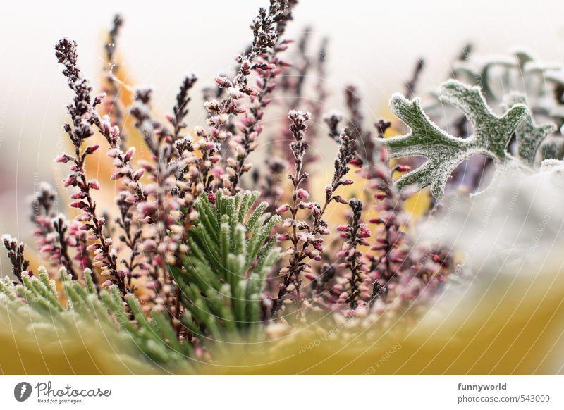 Raureif Natur Pflanze Blatt Winter kalt Umwelt Schnee Herbst Eis Frost frieren Grünpflanze Raureif überwintern Winterschlaf Grabschmuck