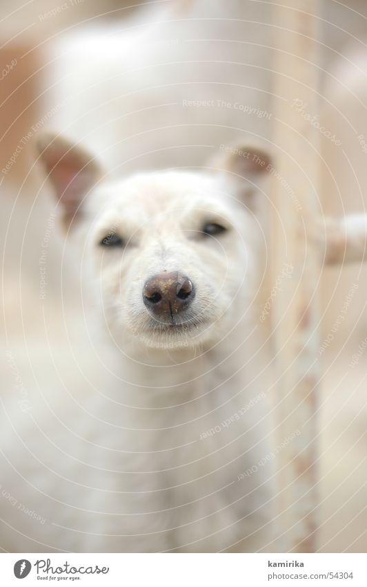 wüstenhund Tier Hund Nase Wüste Afrika Ägypten