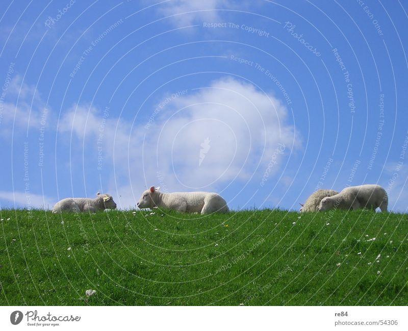 Faulenzen als Gruppenzwang bei Schafen - Part II Himmel blau grün Farbe weiß Erholung Meer rot ruhig Wolken Wiese grau See braun Wind Turm
