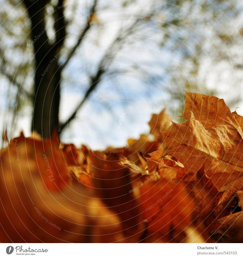 Chemnitzer Laublawine Natur Pflanze Baum Blatt Umwelt Herbst Tod Holz natürlich hell liegen braun Park gold Klima stehen
