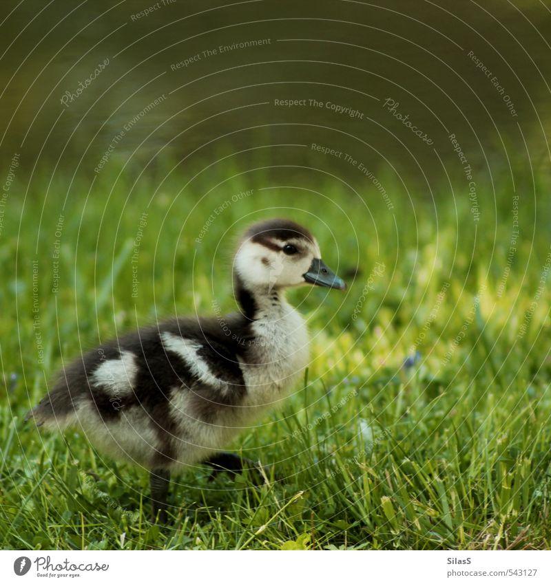 Watschel Natur Wasser Gras Park Flussufer Tier Ente Tierjunges niedlich braun gelb grau grün Farbfoto Außenaufnahme Tag Tierporträt