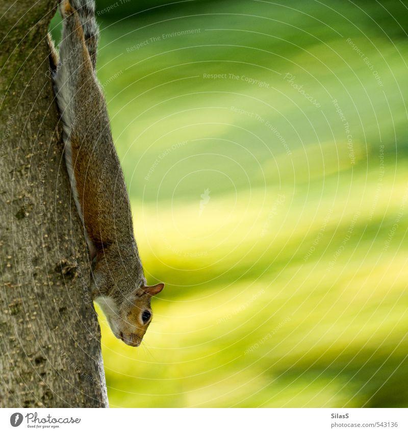Hörnchenbungee Natur Pflanze Eichhörnchen 1 Tier Neugier niedlich braun gelb grau grün Farbfoto Außenaufnahme Tag Tierporträt