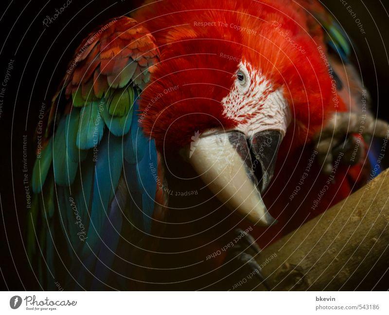Und was hast du zu bieten? Tier Vogel Tiergesicht Flügel Zoo Papageienvogel Ara Schnabel Feder beobachten ästhetisch außergewöhnlich dunkel exotisch groß