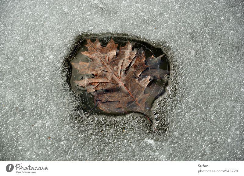 Wärmeblatt Winter Natur Wasser Sonnenlicht Frühling Herbst Schönes Wetter Eis Frost Blatt Seeufer Teich kalt nass braun grau schwarz weiß Eisfläche Winterwärme