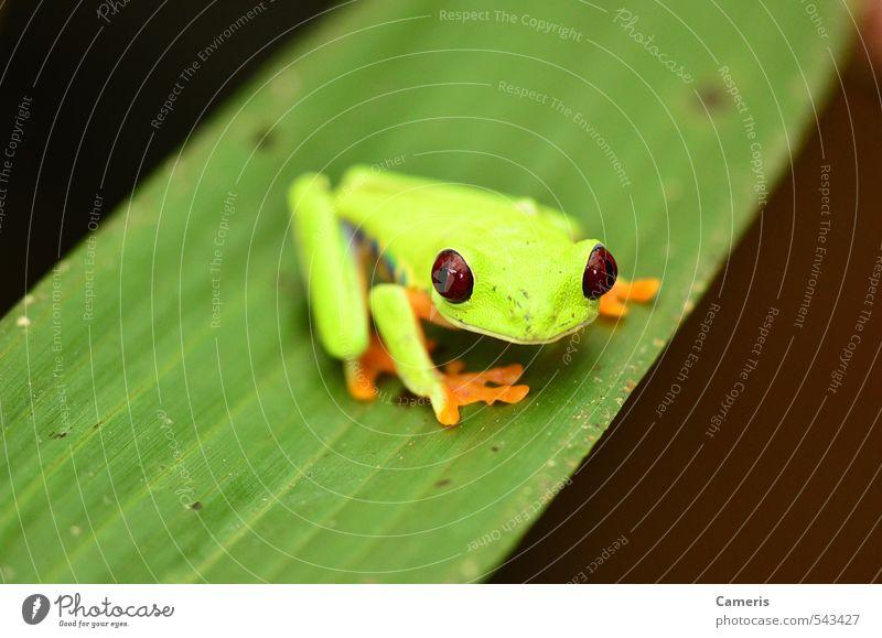 Rotäugiger Baumfrosch Abenteuer Natur Tier Blatt Urwald Wildtier Frosch 1 Freundlichkeit klein Neugier wild gelb grün rot friedlich Wachsamkeit Vorsicht
