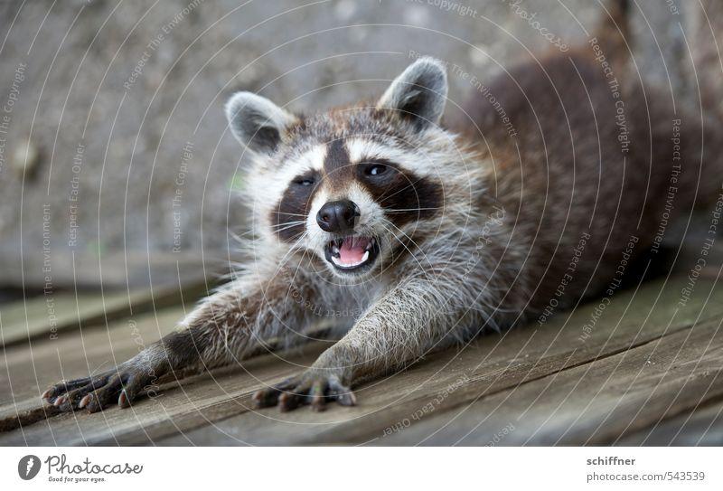 Doch Nagellack vielleicht? Tier Wildtier Tiergesicht Fell Krallen Pfote 1 grau schwarz weiß gähnen strecken ausgestreckt schlafen betteln Maul maulen schön