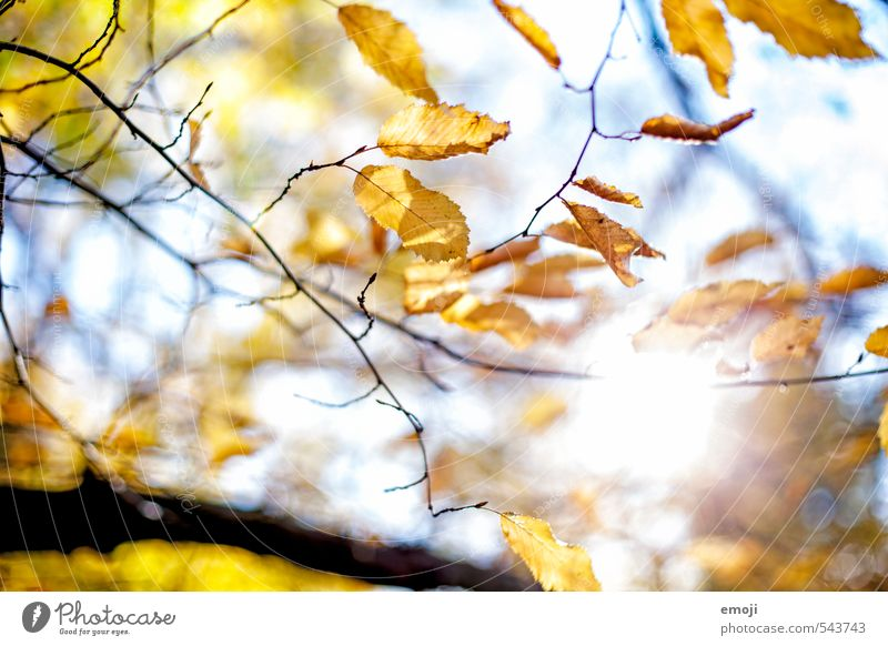 Herbstlich(t) Umwelt Natur Pflanze Sonne Schönes Wetter Baum Blatt natürlich gelb Farbfoto Außenaufnahme Menschenleer Tag Licht Sonnenlicht Sonnenstrahlen