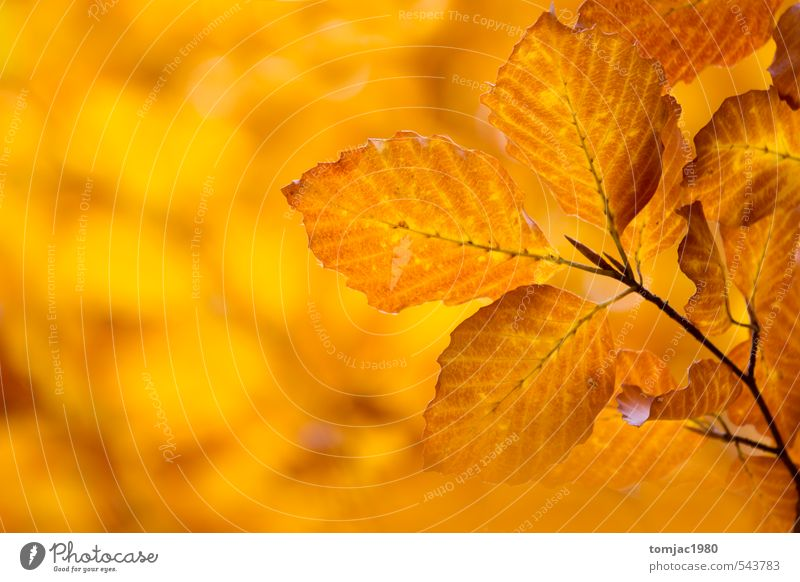 Laubblätter, Herbst Natur alt Pflanze Baum Blatt Wald gelb natürlich Hintergrundbild braun orange trist Design Dekoration & Verzierung trocken
