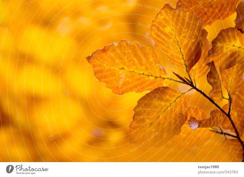 Laubblätter, Herbst Natur alt Pflanze Baum Blatt Wald gelb Herbst natürlich Hintergrundbild braun orange trist Design Dekoration & Verzierung trocken