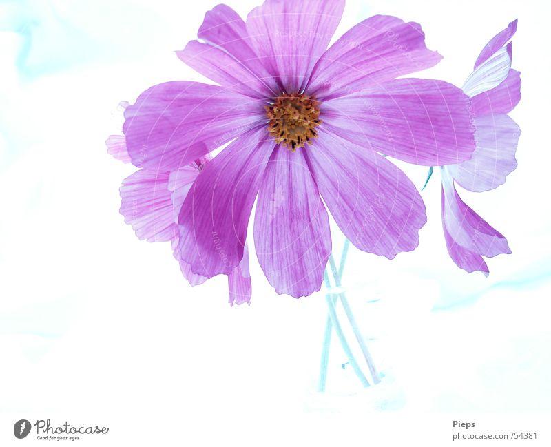Sommersehnsucht Farbfoto Innenaufnahme Hintergrund neutral Blume Blüte Dekoration & Verzierung Blühend violett Vase Schmuckkörbchen flowers