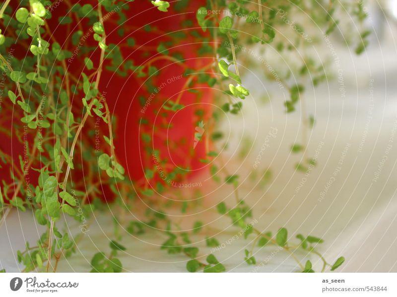 Blättchen Umwelt Natur Pflanze Blatt Grünpflanze Topfpflanze hängen Wachstum Freundlichkeit grau grün rot Fröhlichkeit Frühlingsgefühle Beginn Farbe Klima