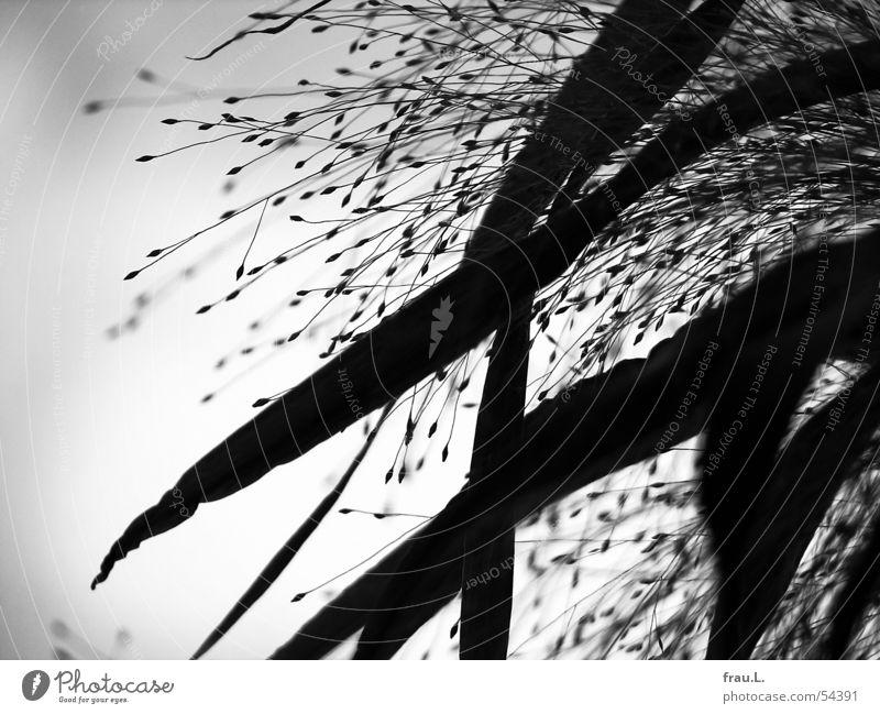 schwarze Gräser Gras Blatt Gegenlicht zart Kraft grau Schwarzweißfoto Natur Himmel