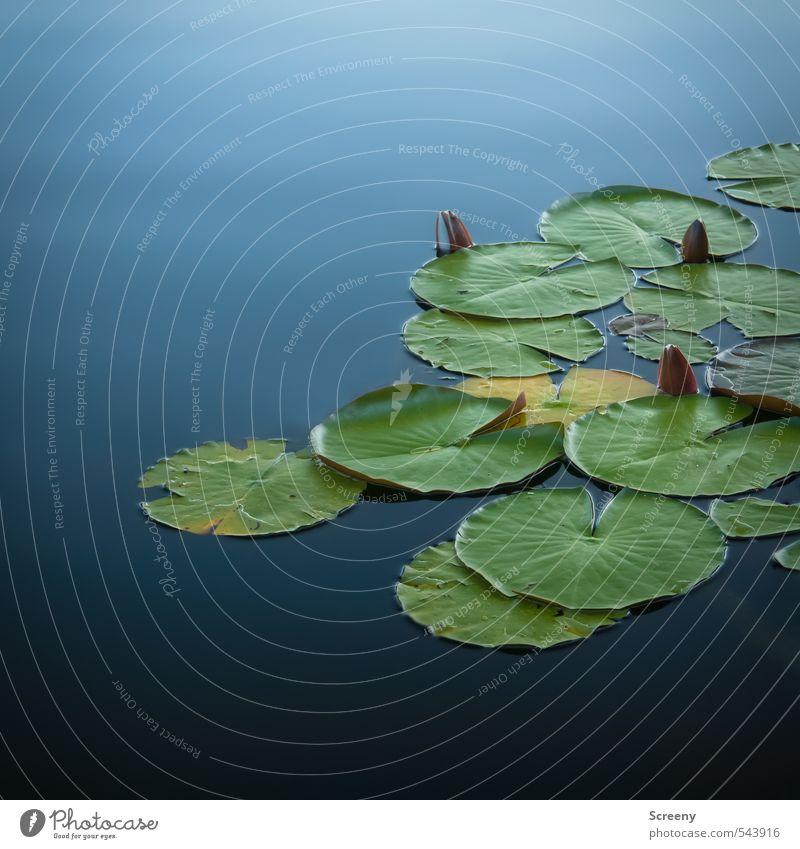 Sie schlafen noch... Natur Pflanze Wasser Wasserpflanze Seerosen Teich ruhig Armut Farbfoto Außenaufnahme Menschenleer Textfreiraum oben Textfreiraum unten Tag