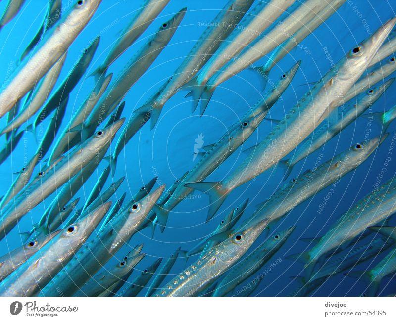 Barakudaschwarm blau Meer Fisch tauchen Schwarm türkis Luftblase Korallen Fischschwarm Rotes Meer Barracuda