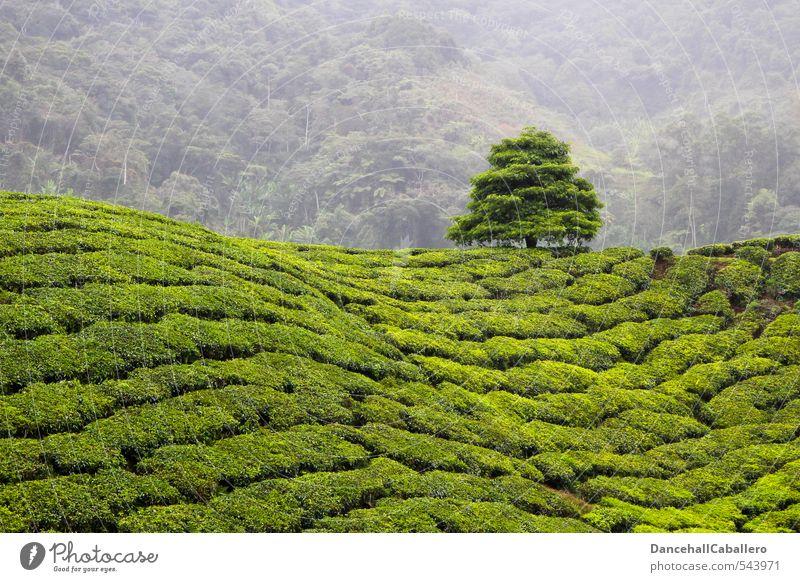 In aller Ruhe abernten und Tee trinken... Natur Pflanze grün Baum Landschaft ruhig Linie Zufriedenheit Feld Nebel Wachstum Kraft Sträucher warten genießen