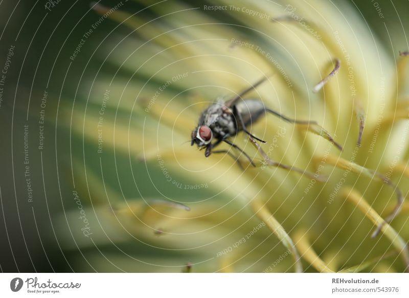 er soll endlich starten Natur Tier Pflanze Blume fliegen Umwelt Insekt Blüte Fliege Farbfoto Außenaufnahme Makroaufnahme Schwache Tiefenschärfe Tierporträt