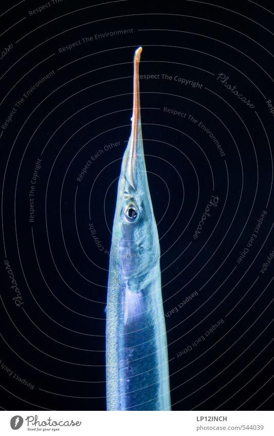 hECHT. Angeln Ausflug Umwelt Wasser Fisch hornhecht Essen fangen Fressen Jagd ästhetisch sportlich dunkel lecker dünn blau schwarz Hecht Fischereiwirtschaft