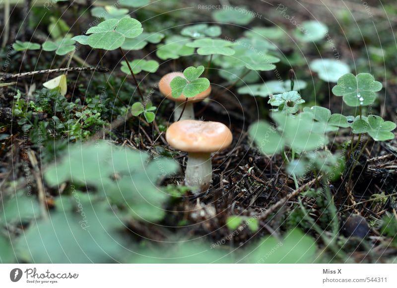 Pilz im Klee Natur Pflanze Blatt Wald Wiese Herbst klein Wachstum verstecken lecker Moos Gift Kleeblatt Waldboden Pilzhut