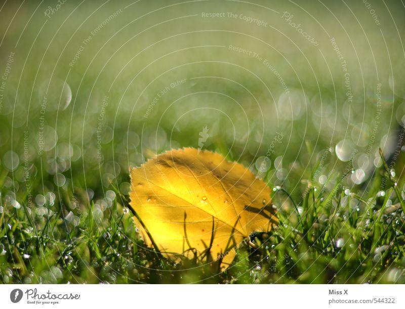 Jetzt ist der Herbst auch schon vorbei Blatt gelb Wiese Gras Garten Regen glänzend Schönes Wetter nass Wassertropfen Rasen Herbstlaub Tau herbstlich