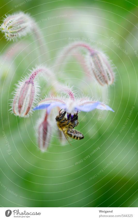 """Biene und Blume Umwelt Natur Pflanze Blüte Grünpflanze berühren Bewegung blau grün """"Biene,"""" Landlust Landleben Feld Borretsch Honig Honigbiene Farbfoto"""