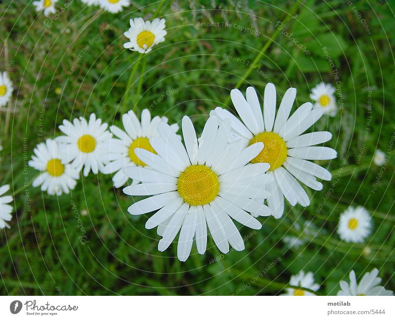 gänseblümchen Blume Gänseblümchen Wiese