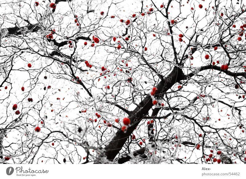 red dab weiß Baum rot schwarz Seil Frost Ast Punkt Fleck Baumkrone Beeren Kirsche Vernetzung Vogelbeeren