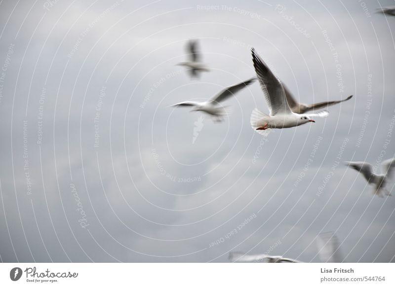 flieg Tier Vogel Möwe Tiergruppe Wolken Wind fliegen frei schön Farbfoto Außenaufnahme Tierporträt
