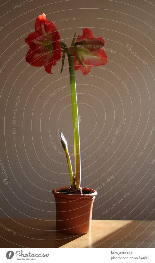Riierstern im Rampenlicht Ritterstern Amaryllisgewächse Pflanze Blüte rot rosa Licht schön Winterblume Kraft Lampe Sonne Natur zimmerplanze