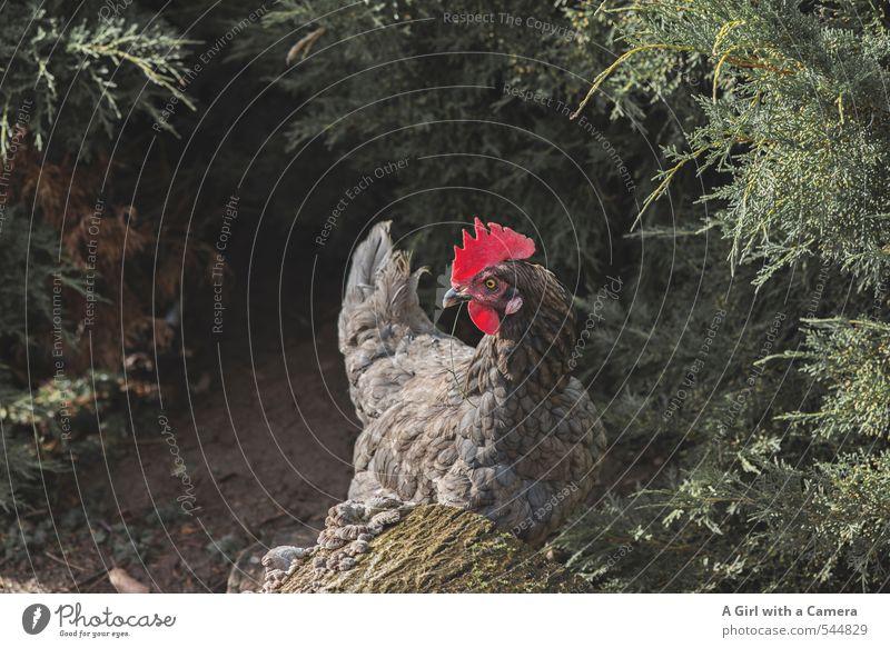 Freilaufendes Hühnerglück Natur Schönes Wetter Sträucher Garten Tier Nutztier Vogel Haushuhn Federvieh 1 Blick Suche Gesundheitswesen prächtig Idylle