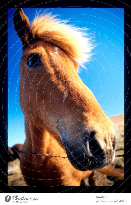 isländer pferd Tier Pferd Bauernhof Island