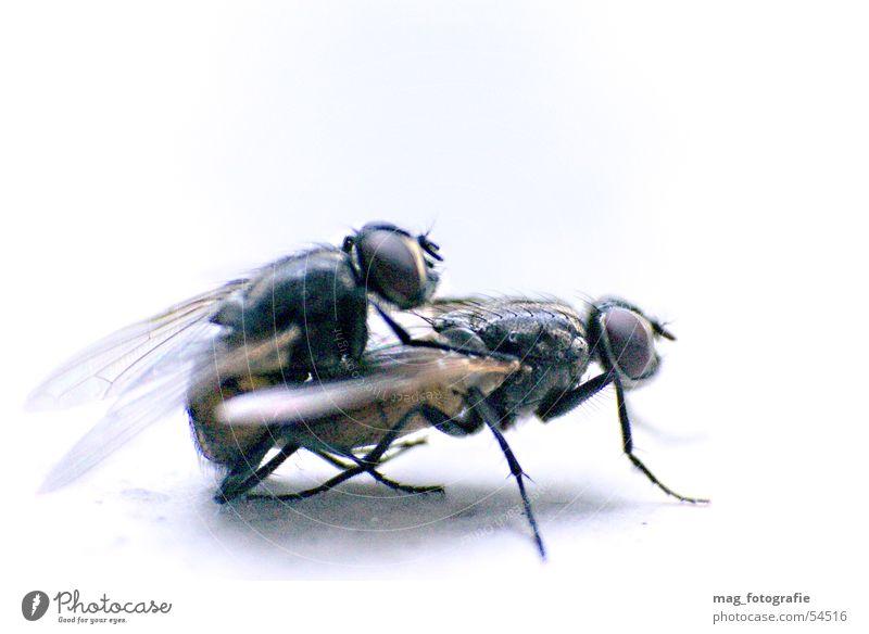 Fliegenpaarung Fortpflanzung Makroaufnahme Insekt Tier fliegen