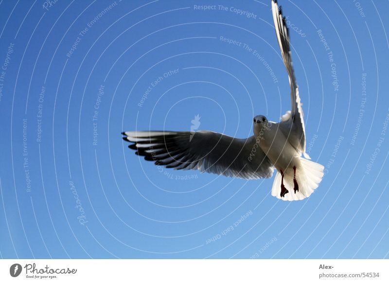 Vogelfrei Himmel blau Freiheit Luft Vogel fliegen frei Luftverkehr Segeln Möwe