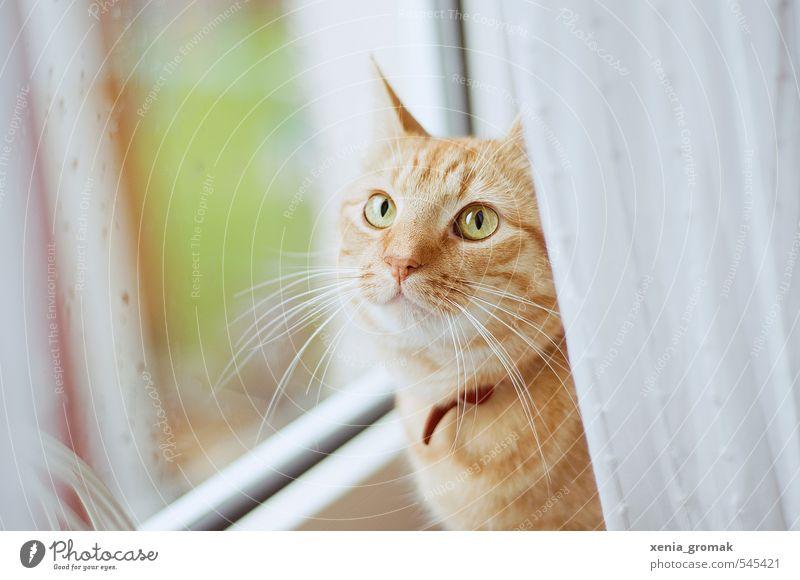 rote Katze Tier Haustier Tiergesicht 1 Tropfen Tierliebe ruhig Idylle Kater Kätzchen Fensterscheibe Regentropfen Zuhause Hauskatze Katzenauge Farbfoto
