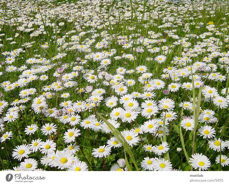 margaritenwiese Gänseblümchen Wiese Frühling