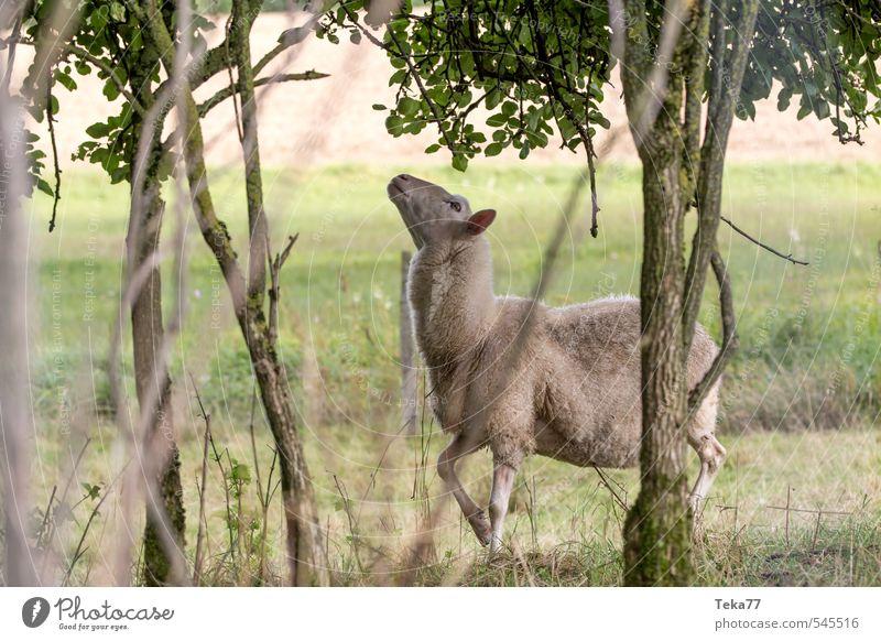 Der kleine Hunger Leben Sommer Umwelt Natur Landschaft Pflanze Baum Wiese Tier Nutztier 1 Herd & Backofen wählen Essen springen Schaf Weide Farbfoto