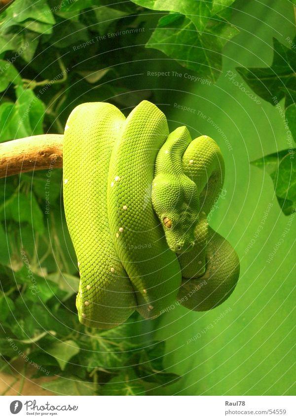 green mamba schön grün Tier gelb Angst Zoo Ekel Bayern Gift Schlange Reptil Augsburg Grüne Mamba