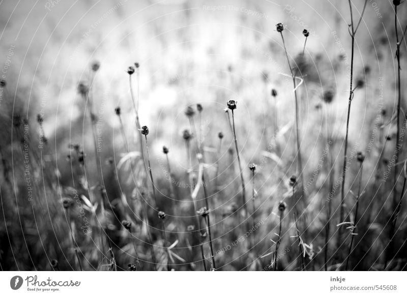 Zeichen des Wintereinbruchs Natur Pflanze Herbst Klima Dürre Blume Blütenstiel Ast Garten Park verblüht dehydrieren dunkel dünn kalt lang natürlich trist