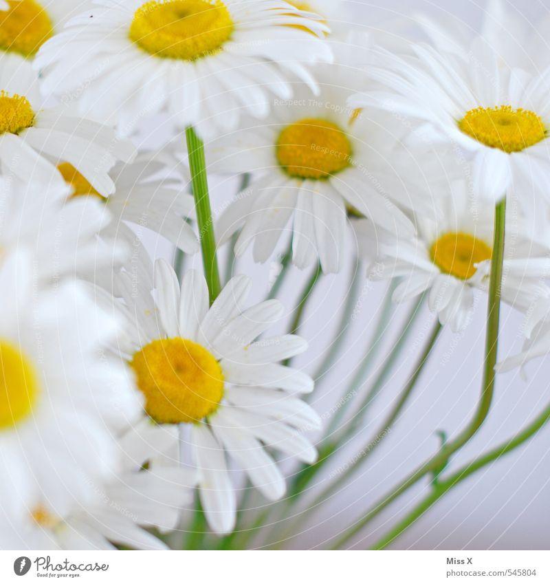 Sommerblume Blume Blüte Blühend Duft gelb weiß Margerite Blumenstrauß Wachstum Sommerblumen Blumenwiese Farbfoto mehrfarbig Nahaufnahme Detailaufnahme Muster