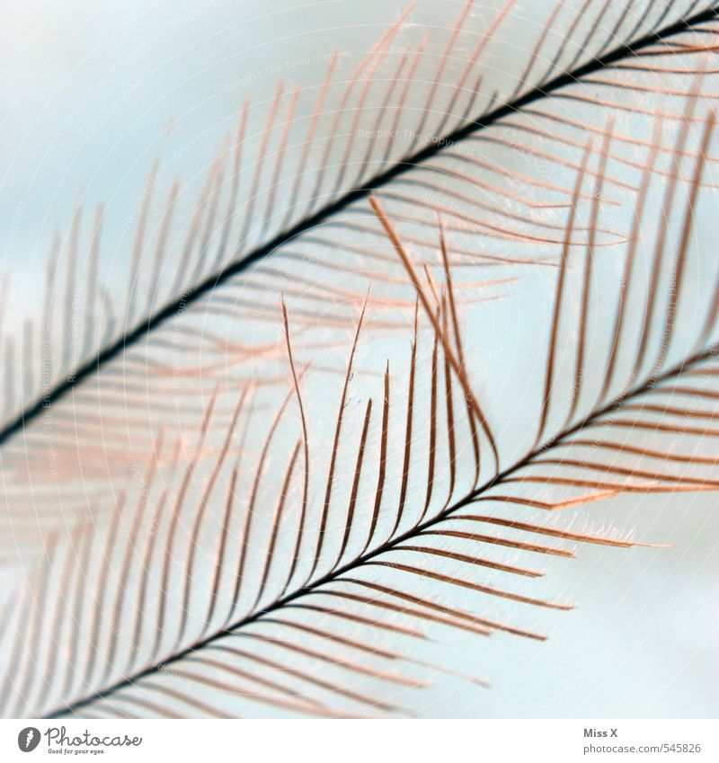 Federleicht Vogel weich Daunen Flaum zart filigran Pfauenfeder Farbfoto Außenaufnahme Nahaufnahme Makroaufnahme Muster Strukturen & Formen Menschenleer