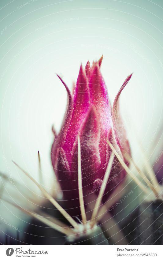 stachelige Schönheit Umwelt Natur Pflanze Frühling Sommer Klima Kaktus Topfpflanze ästhetisch schön blau grün rot Zimmerpflanze Blüte Blütenknospen Stachel