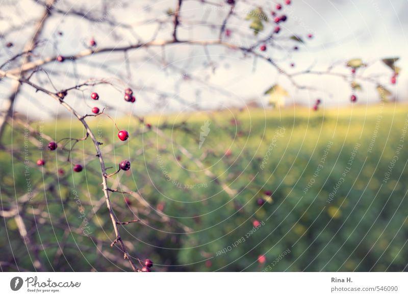 Beeren Natur Pflanze Landschaft Umwelt natürlich Feld Schönes Wetter Fruchtstand Rapsfeld